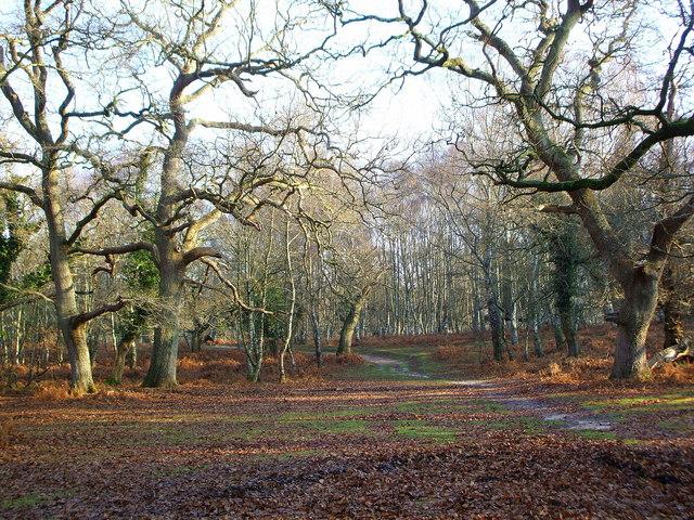 Old Oaks in Rowbarrow