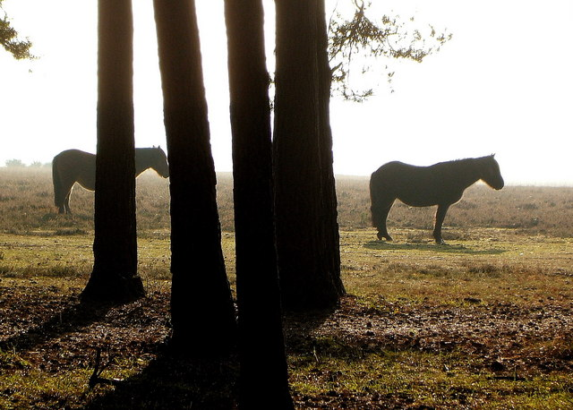 New Forest Ponies at Shatterford