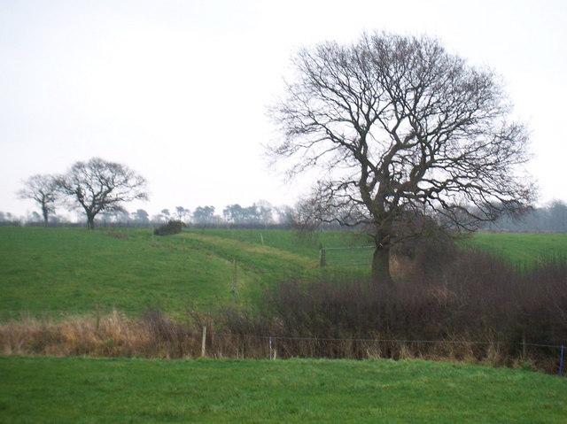 Oak trees in hedgerows