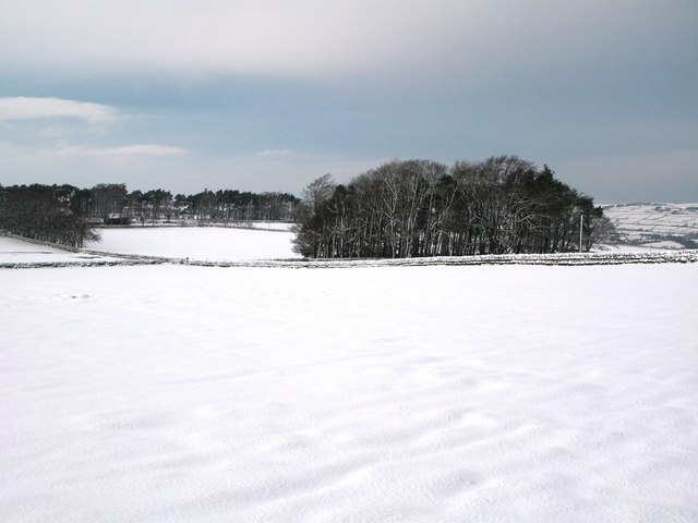 Plantation near The Spittal (2)