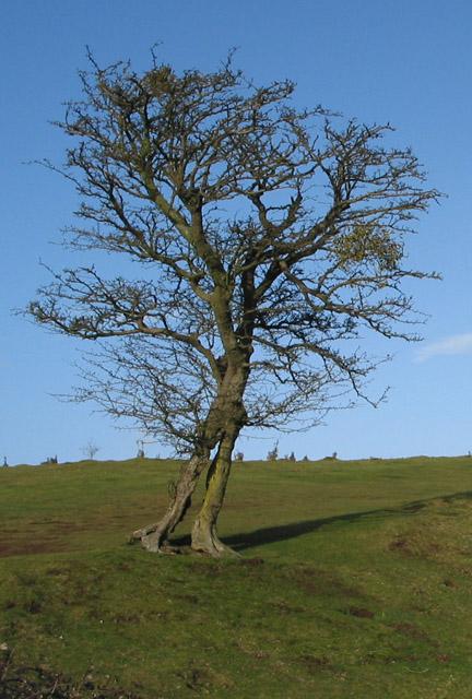 Tree takes human form