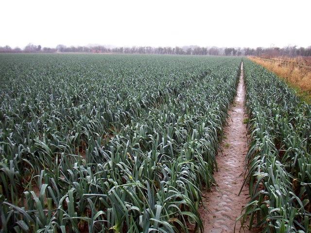Leek field on the Welsh border