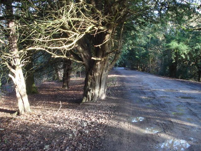 Yew trees on The Ridgeway