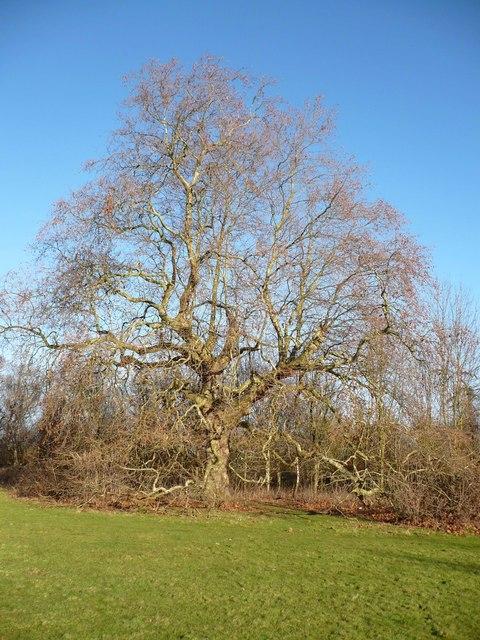 Plane tree in Lorenden Park