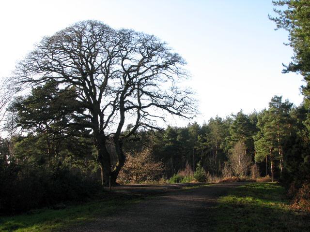Sessile oak at footpath crossing