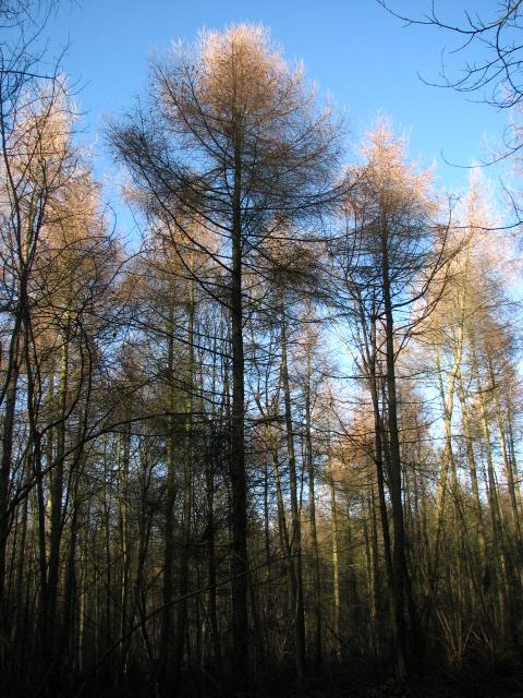 Larch trees (Larix europaea)
