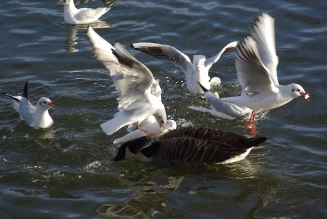 Black Headed Gulls, Daventry Reservoir