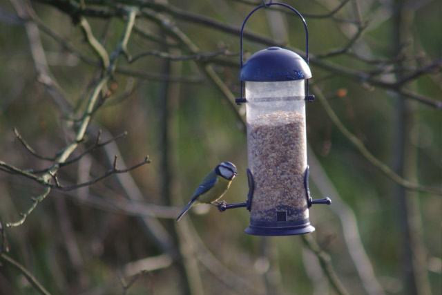 Blue Tit, Daventry Country Park