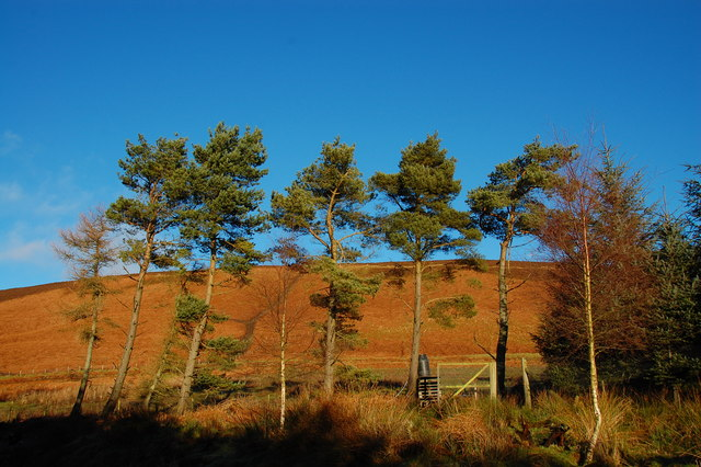 Scot's Pines below Arnbarrow Hill