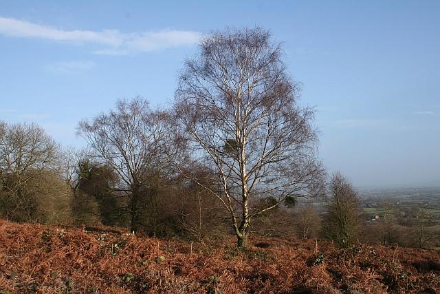 Mistletoe on Silver Birch Tree
