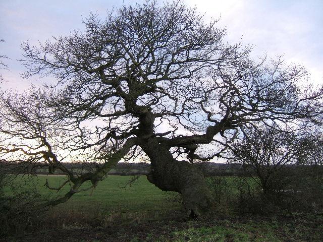 An old oak tree, on a Moat