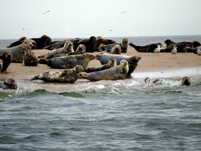 Grey seals on the West Hoyle Bank in the Dee estuary