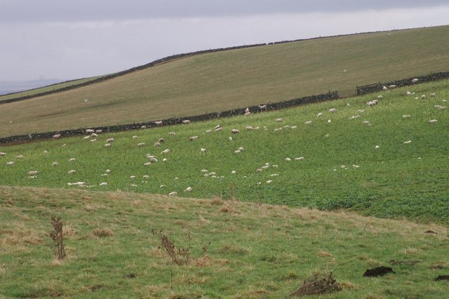 Sheep on the north side of the Hill of Alyth