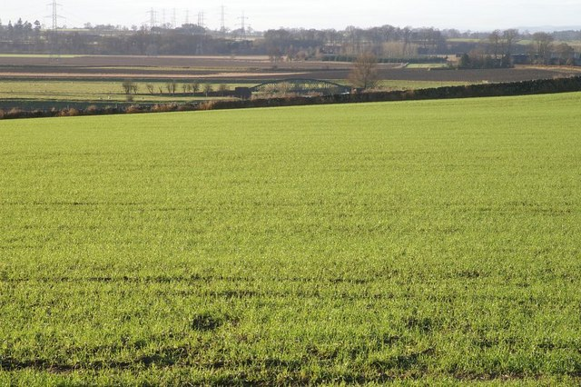 Winter wheat at Bardmony