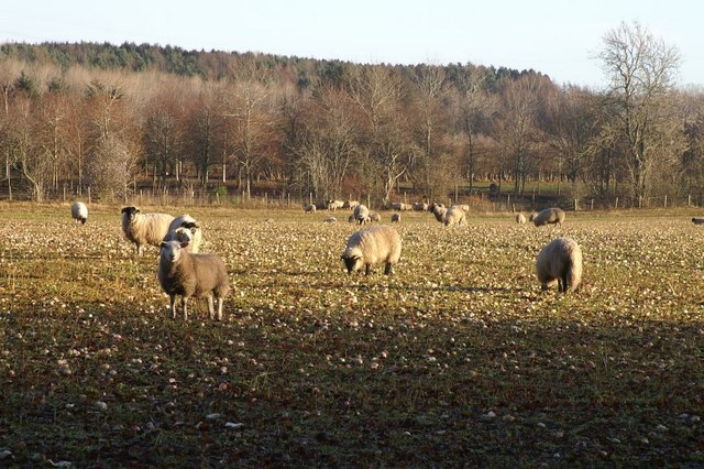Sheep at Balendoch