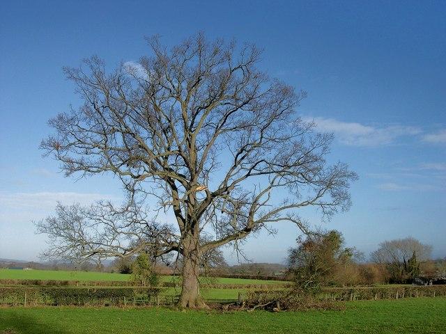 Oak tree, The Elms, Ledgemoor