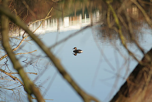 Great Crested Grebe in Colwick Country Park