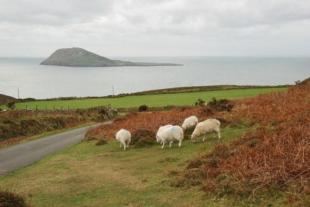 Defaid ac Ynys Enlli - Sheep and Bardsey
