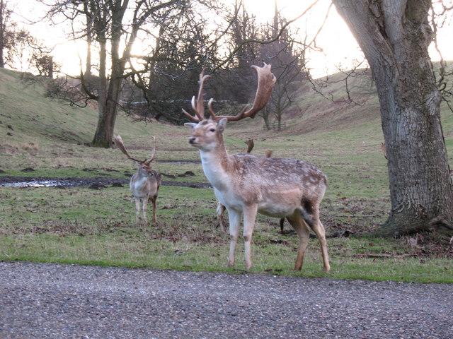 Fallow Buck, Studley Park