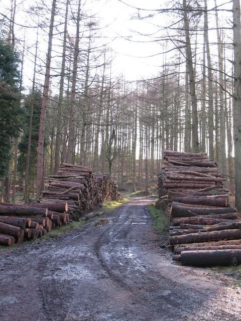 Timber stacks, Hawkshaw Gill Wood