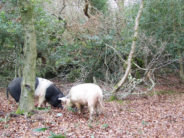 Pigs grazing near Cadnam in the New Forest