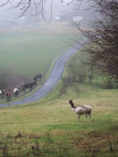 Livestock near Hardwick Hall