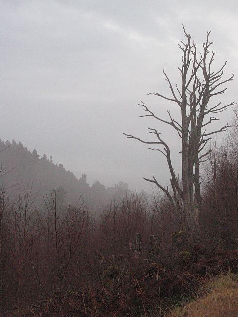 Standing dead pine