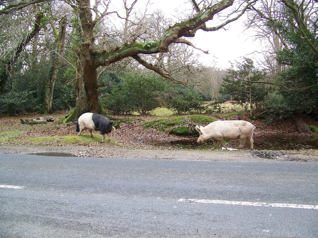 Pigs beside the B3079