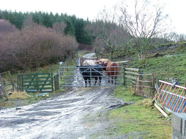 Cattle in Glen Bernisdale