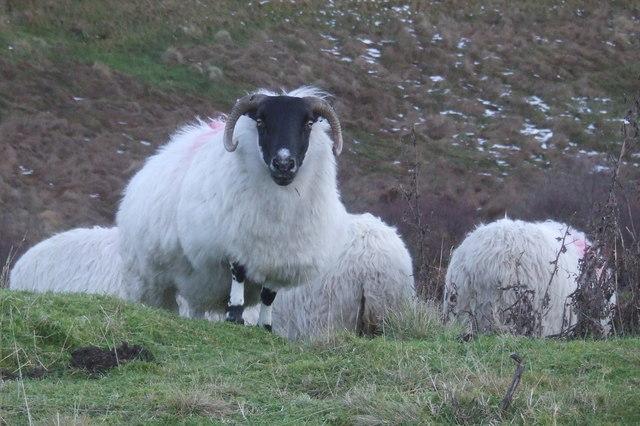 Sheep doon aff the hills