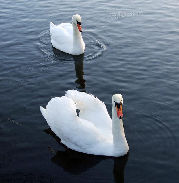 Swans in Waters' Edge Park