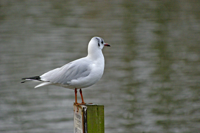 Black Headed Gull on post at Boxer's Lake, Enfield