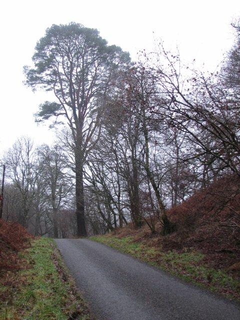 Tall pine, Castramont