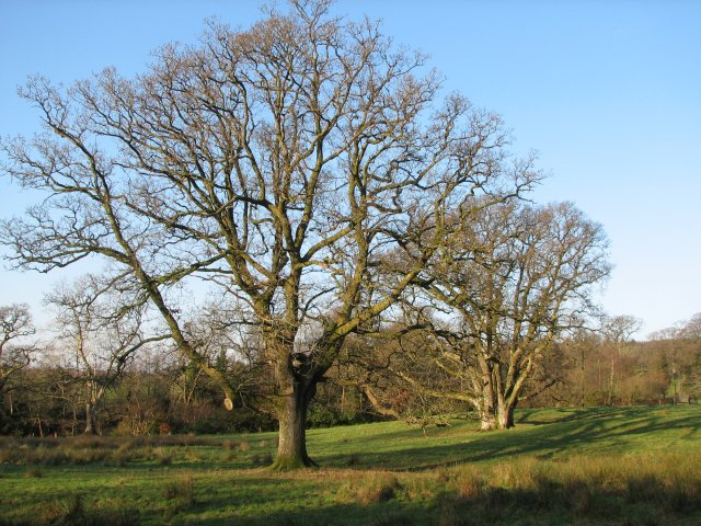 Oak trees, Cairnsmore