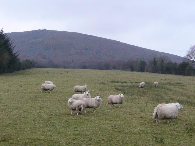 Sheep and Corndon Hill