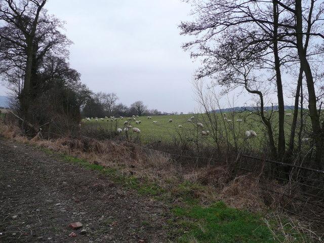 Sheep grazing north of Lydham