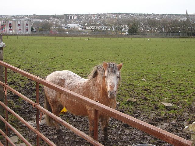 Pony at Thurso East