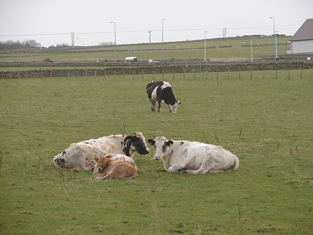 Contented cattle at Thurso East