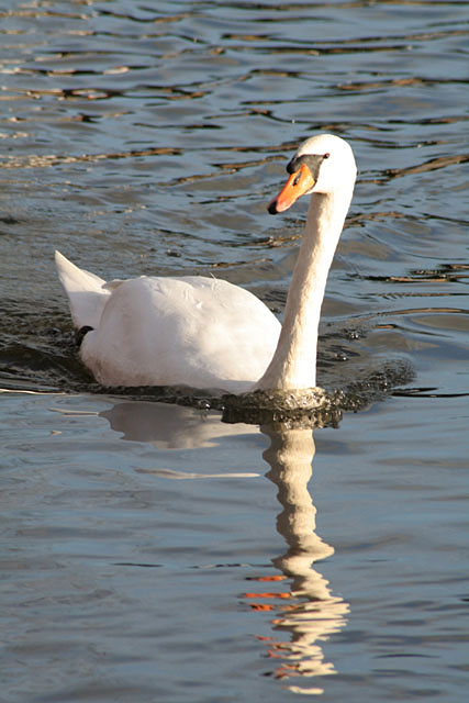 Only one swan a-swimming . . .