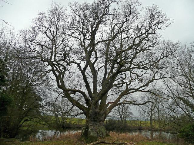 Hardwick Oak