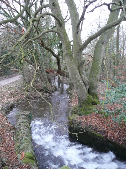 Beeches by the outflow of Hardwick pond
