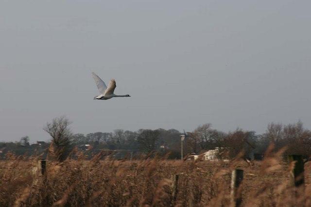 Swan flying towards Manor Farm House