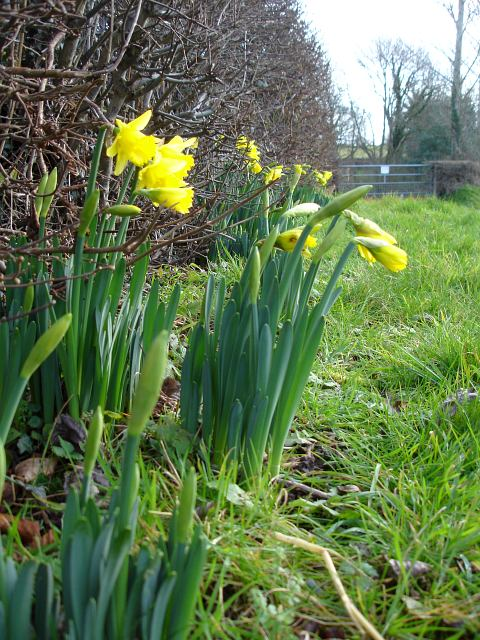 Early daffs at The Ffridd