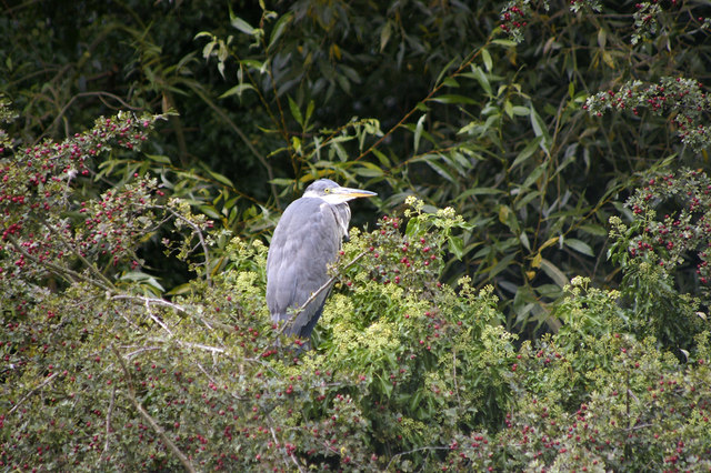 Heron on Island in Boxer's Lake, Enfield