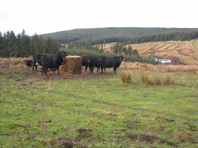 Cattle in the Hindhope valley