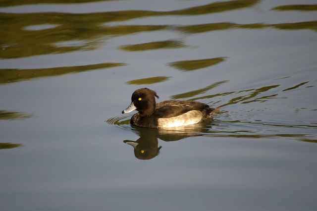 Tufted Duck on Boxer's Lake, Enfield