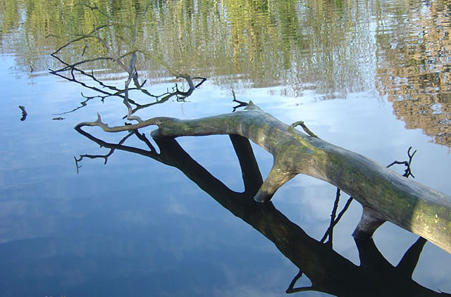Fallen tree in Colwick Hall Lake