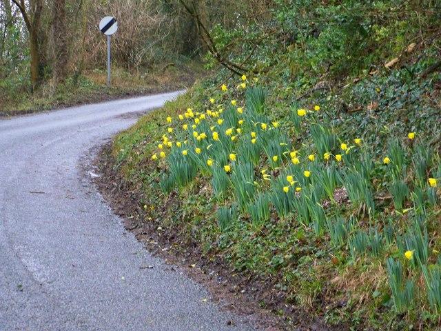 Daffodils near Woodminton