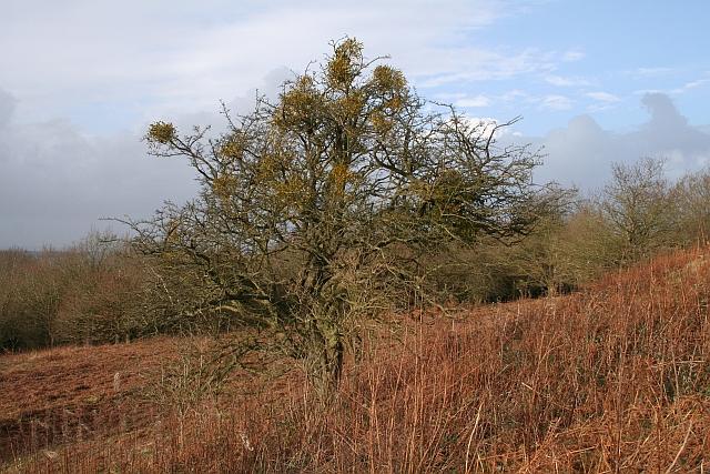 Mistletoe riddled Hawthorn