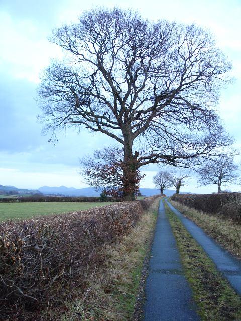Oaks on the road above Llifior